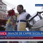 INVAZIE DE CAPRE SI COLINDATORI