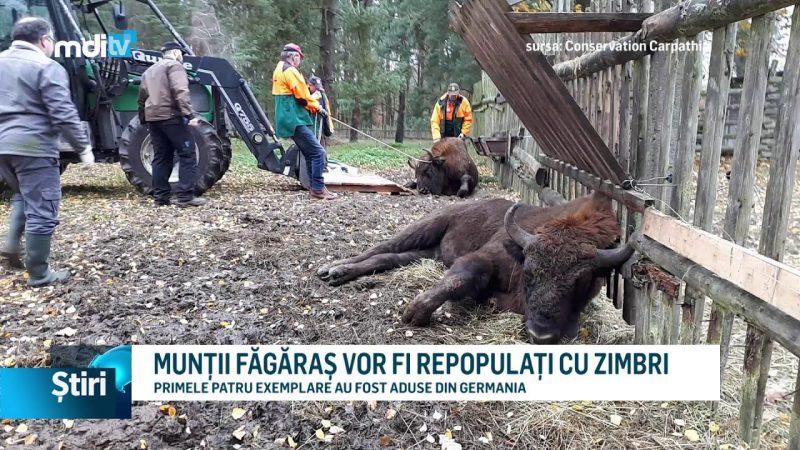 MUNȚII FĂGĂRAȘ VOR FI REPOPULAȚI CU ZIMBRI