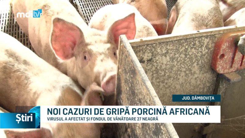 NOI CAZURI DE GRIPĂ PORCINĂ AFRICANĂ