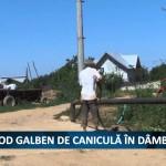 COD GALBEN DE CANICULA IN DAMBOVITA
