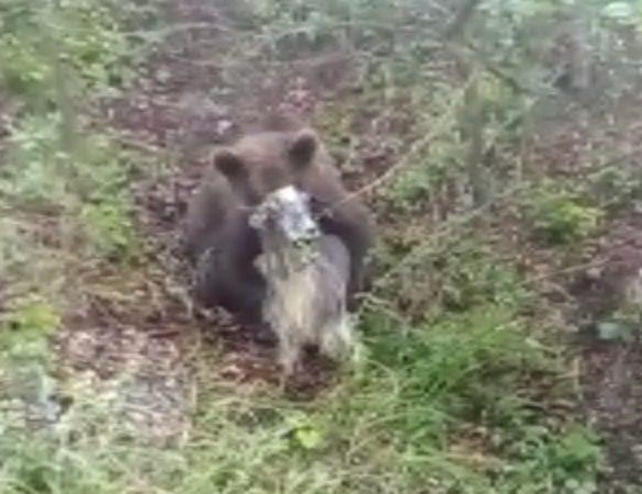 URȘII FAC PRĂPĂD ÎN ARGEȘ! UITE CUM ATACĂ ANIMALELE ! VIDEO!