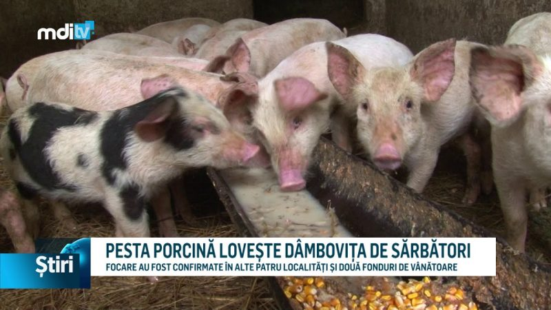 PESTA PORCINĂ LOVEȘTE DÂMBOVIȚA DE SĂRBĂTORI
